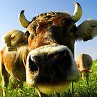 nosy cow by Dan Shalloe