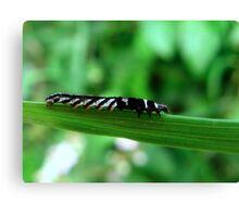 A Stripey caterpillar Canvas Print