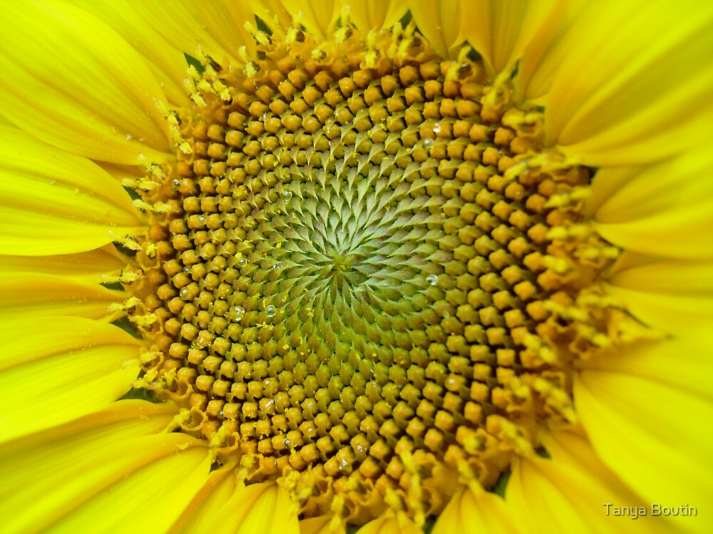 Sweating Sunflower by Tanya Boutin