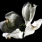 White Dogwood, The Glory Of Spring by AngieDavies