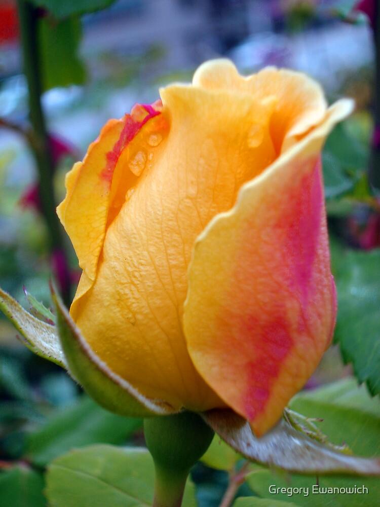 Peach Rose Bud by Gregory Ewanowich