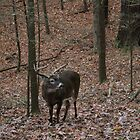 Whitetail Buck ... Ten pointer! by shotzbyjay