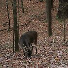 Whitetail Buck II ... Ten Pointer! by shotzbyjay