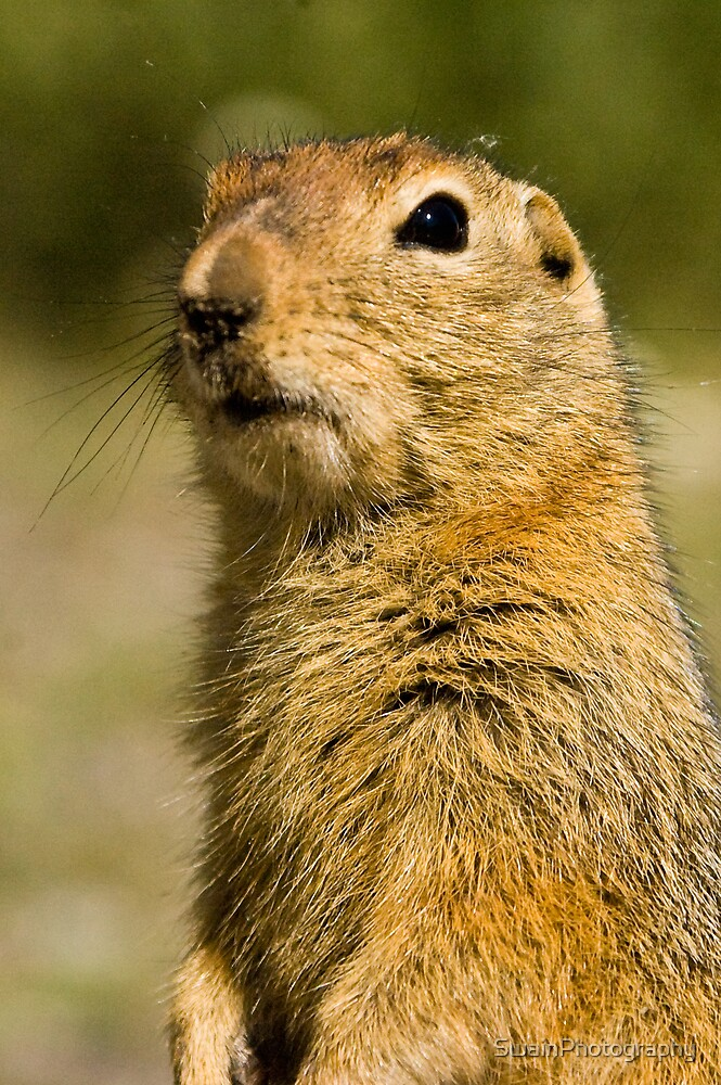 Arctic Ground Squirrel 2 by SwainPhotography
