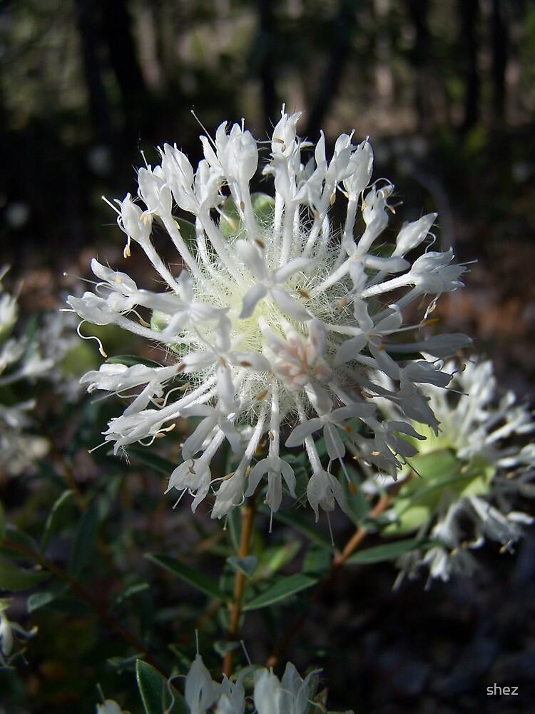 Australian native flower by shez