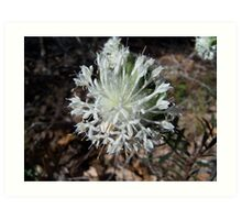 Australian native flower Art Print