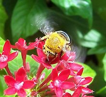 Blue Banded Bee by colbychristie