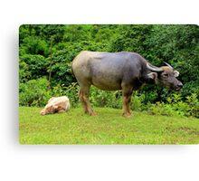 A Calf and his Mother - Sa pa, Vietnam. Canvas Print