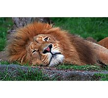 Laid Back Lion Photographic Print