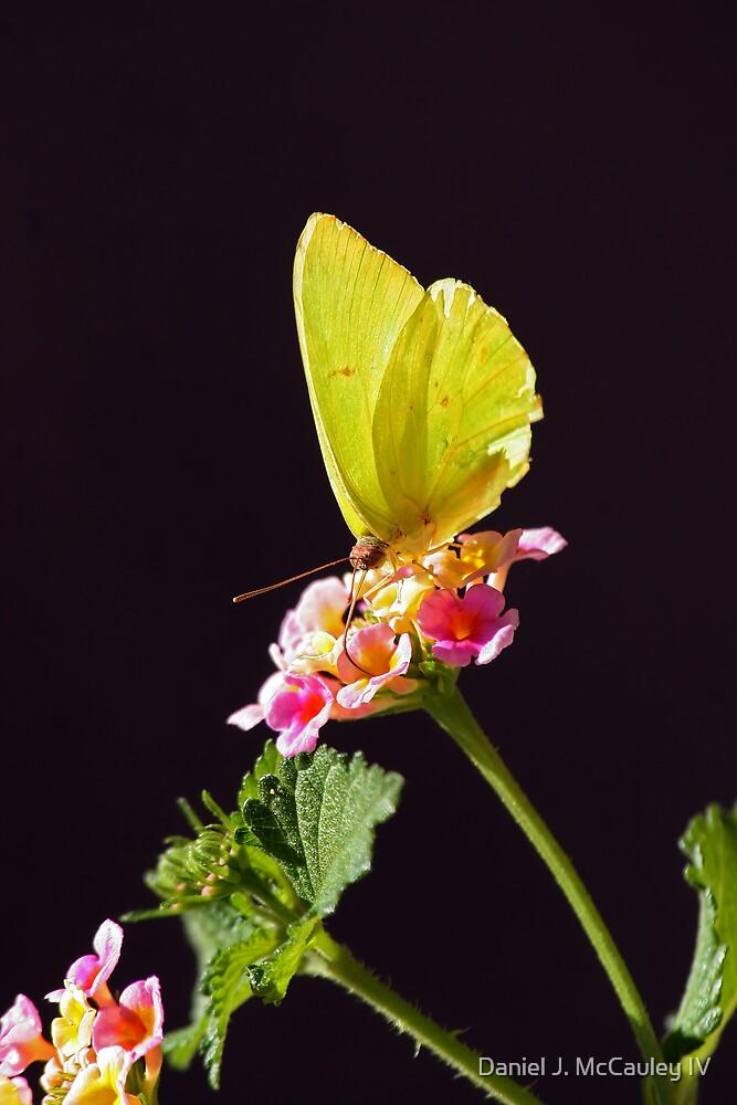 Yellow Butterfly by Daniel J. McCauley IV