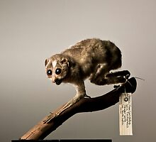 Slender Loris by Marcel Lee