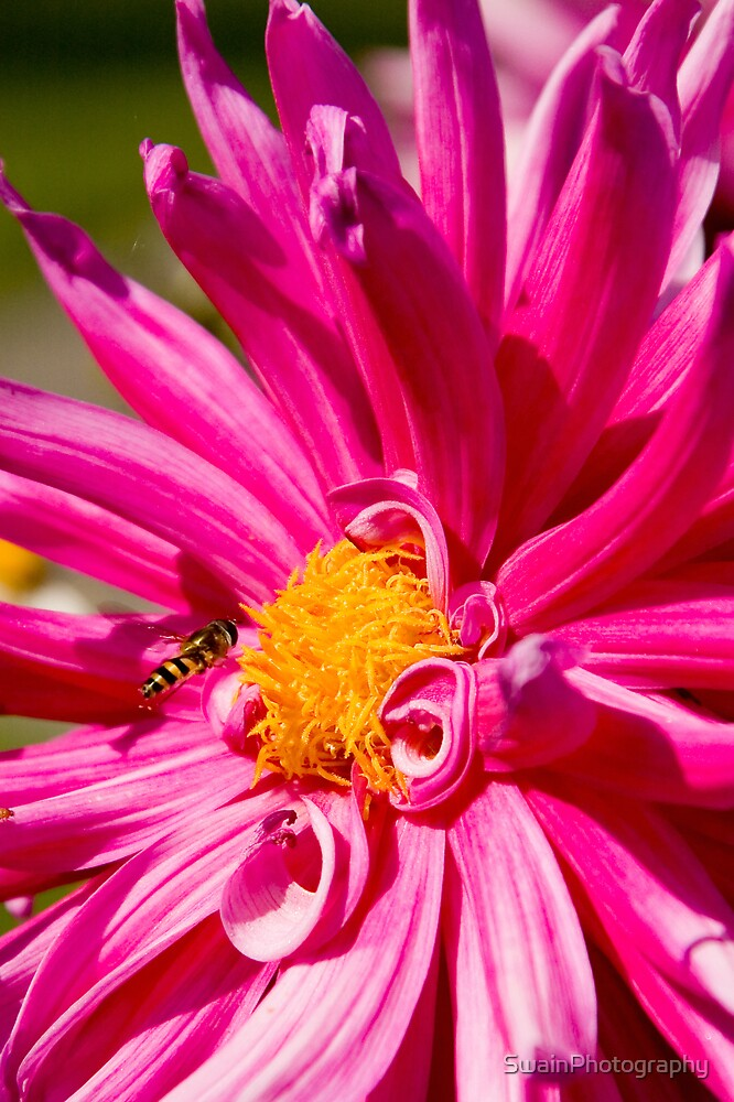 Pink Flower and Bee by SwainPhotography