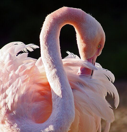 Pink Flamingo by Robyn Carter