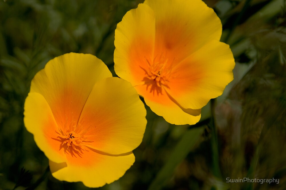 California Poppies by SwainPhotography