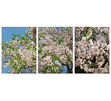 Scale2-Sakura Photographic Print