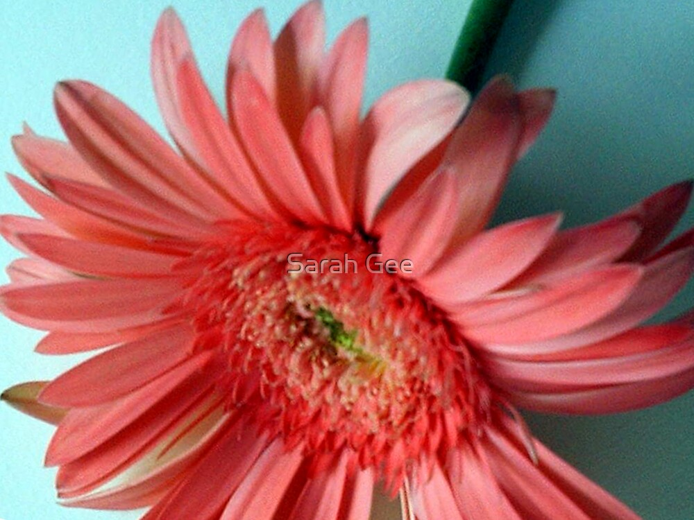 Pink flower by Sarah Gee