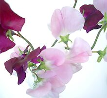 Sweet Pea by Shara