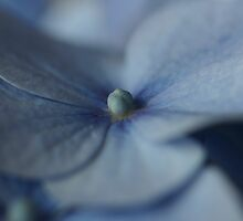 Hydrangea 3 by englishbayboys