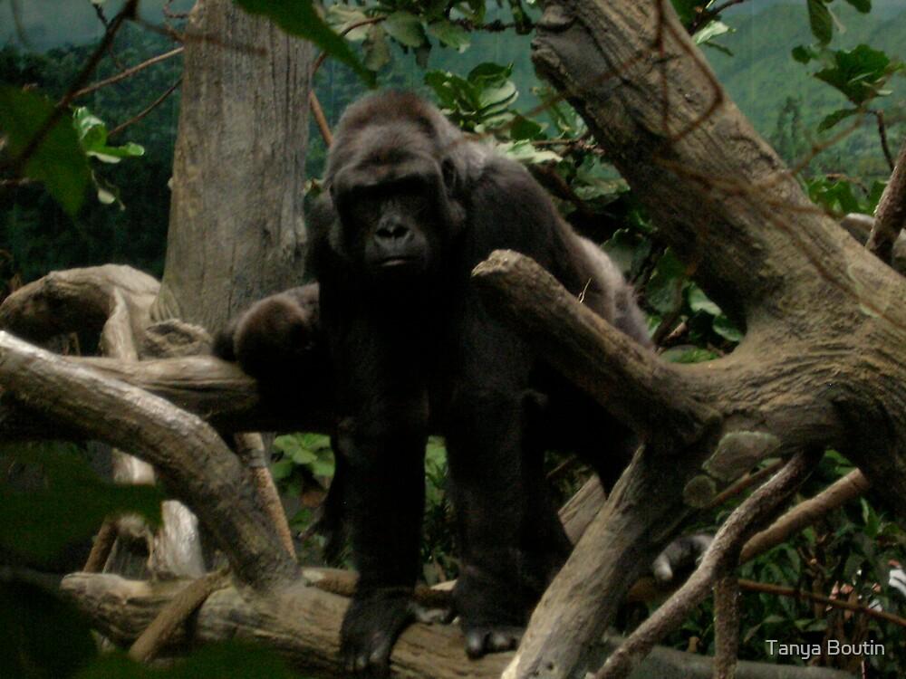 Gorilla by Tanya Boutin