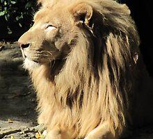 Lion in the Sun by Veronica Schultz