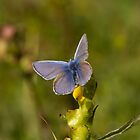 Common Blue Butterfly by Jon Lees