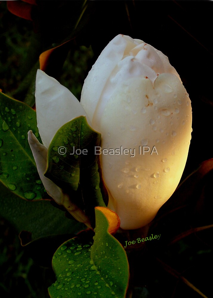 Magnolia Sunrise by © Joe  Beasley IPA