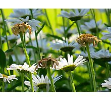 End of Summer, White Daisies   (1407070405VA) Photographic Print