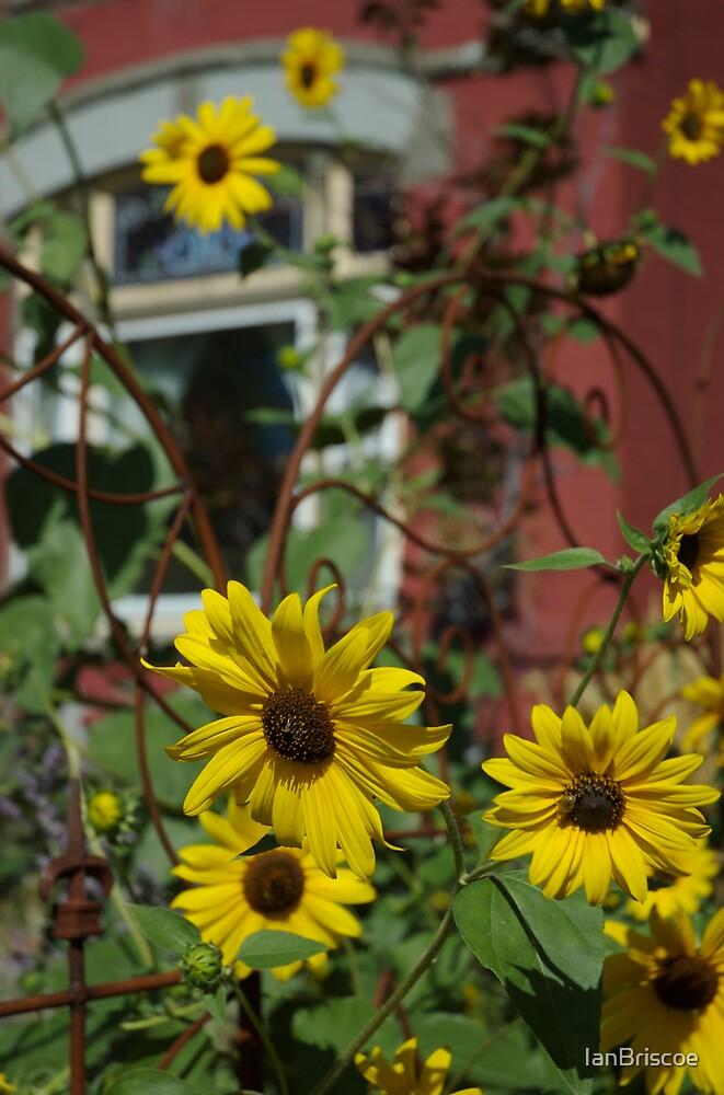 Sun Flowers with iron by IanBriscoe