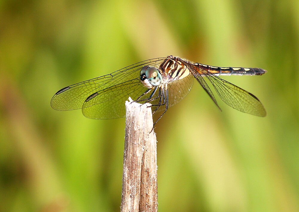 dragonfly by dewinged