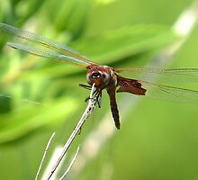 Jewelwing Dragonfly  (1407070565VA) by photroen