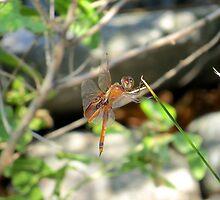 Jewelwing Dragonfly II  (1407070644VA) by photroen