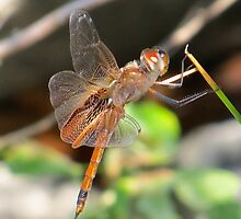 Jewelwing Dragonfly III  (1407070654VA) by photroen