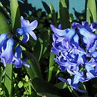 Sunlit Blue Hyacinths by SunriseRose