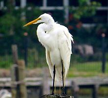 Great White Egret II (1408070831VA) by photroen