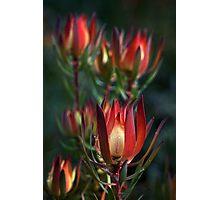 Protea Photographic Print
