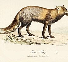 Dog Fox by Vintagee