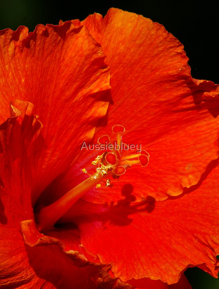 Hibiscus. by Aussiebluey