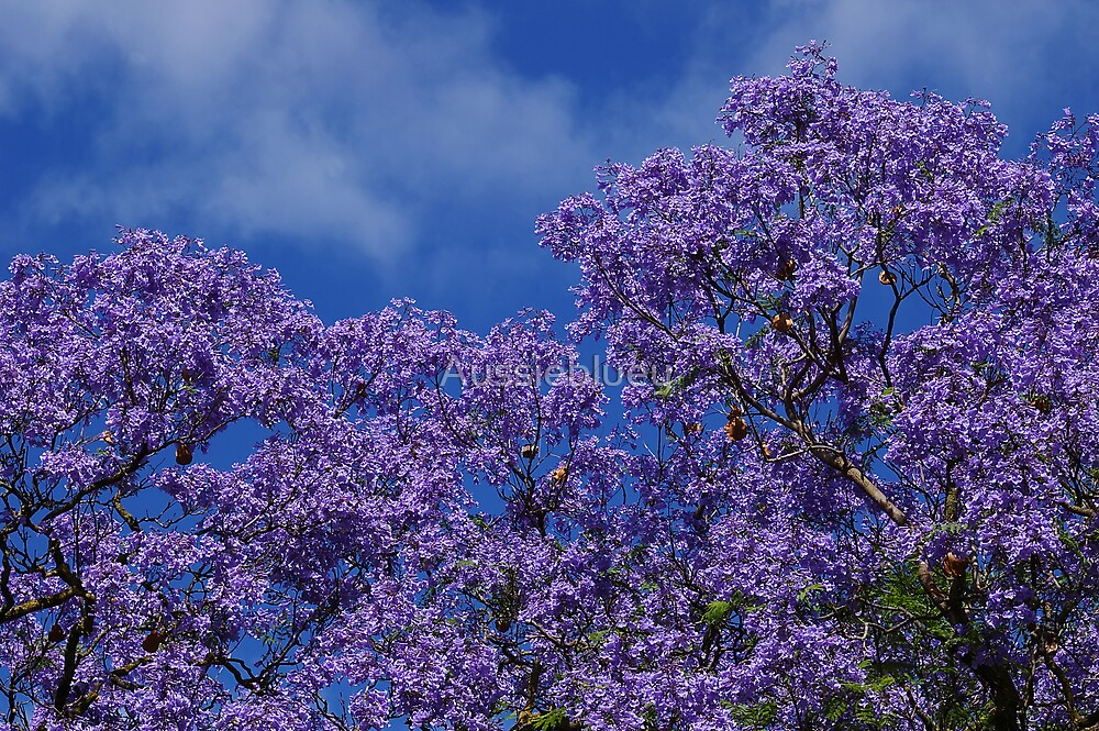 Jacaranda Blues. by Aussiebluey