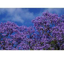 Jacaranda Blues. Photographic Print