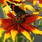 Admiral butterfly on Rudbekia by allisond