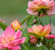 Raindrops on Roses   (1407111539VA) by photroen