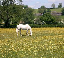 White horse in yellow field by MillyToast