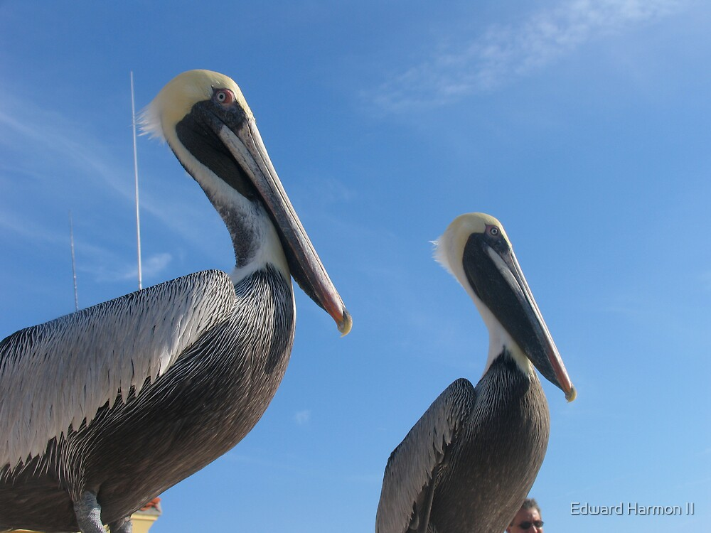 Pelican twins by Edward Harmon II
