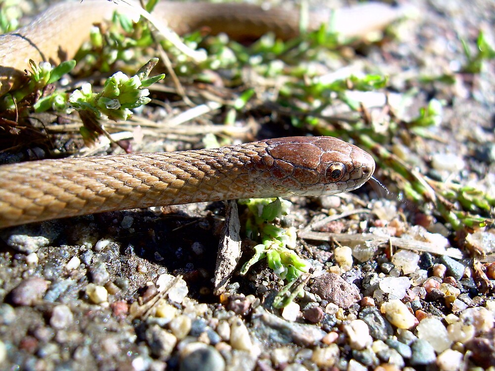 Little Brown Snake 1050 by NiftyGaloot