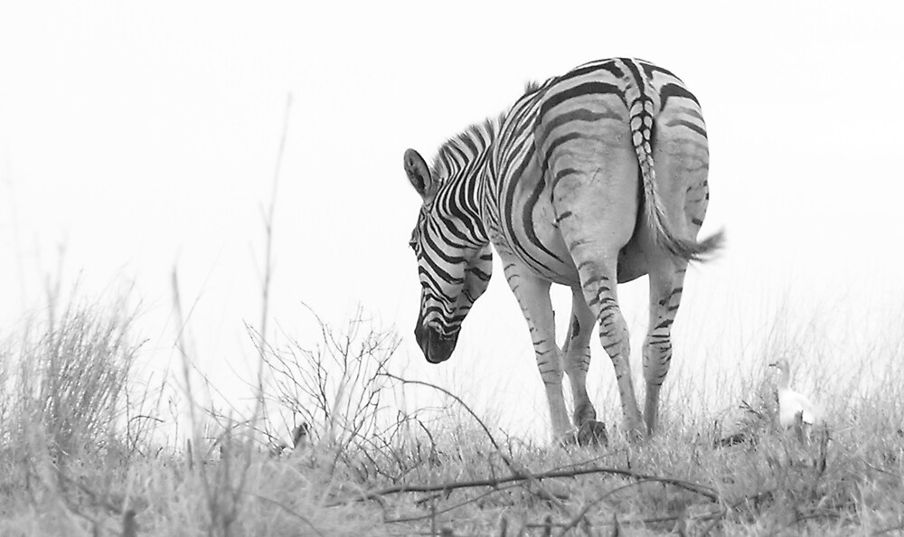Africa - Burchells Zebra by Louw Agenbag
