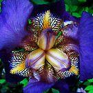 Iris by Jamie Lee