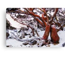 Snow Gum Canvas Print