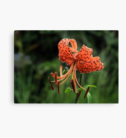 Panther Lily Canvas Print