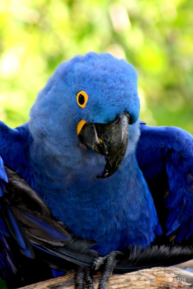 Hyacinth Macaw by Tigris