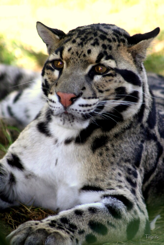 Clouded Leopard by Tigris